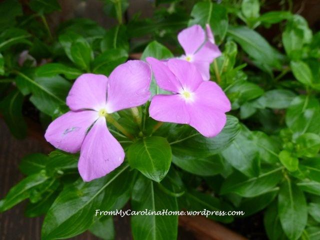 Garden September 9 -periwinkle