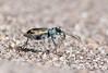 Great Sand Dunes Tiger Beetle