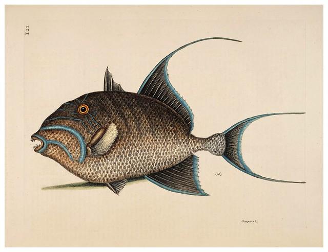 015-La vieja mujer-Armatus Enoplosus-Natural History of Carolina, Florida and the Bahama Islands-Vol2-1754