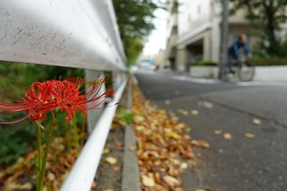 The red spider lily in commuting 2014/09 No.3.