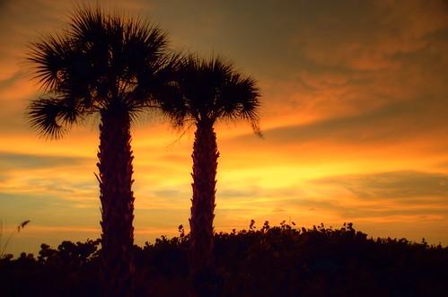 tree silhouette america florida palm palmtree sarasota fl fla sarasotaflorida palmtreesunset sarasotafl sarasotasunset
