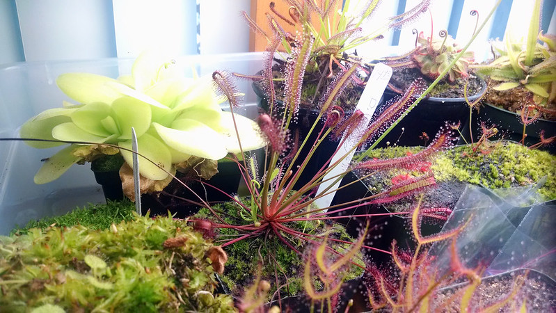 Drosera capensis red form