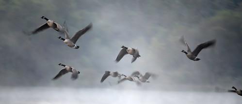 mist fog geese pond lift canadageese foggymorning