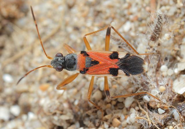 Beosus quadripunctatus - pettyes homokibodobács