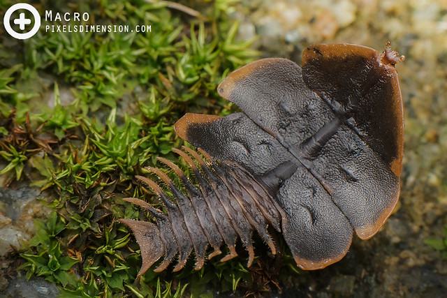Hoi Sen's Trilobite Beetle (juv ♀)- Platerodrilus ruficollis/ Duliticola hoiseni (?)