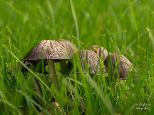 Pilze in der Wiese