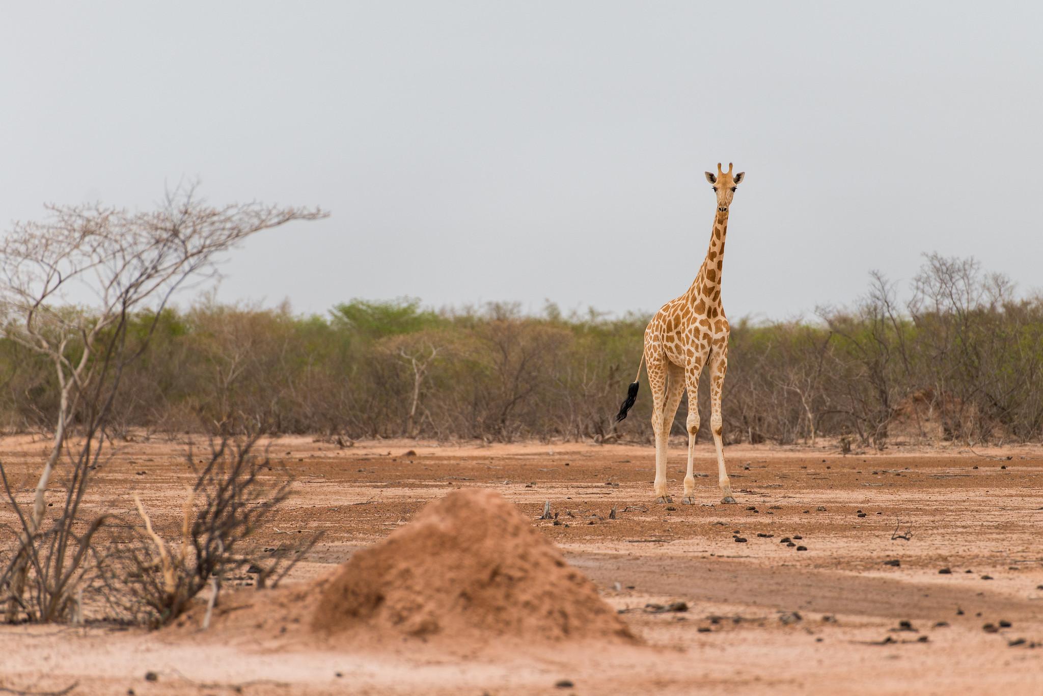 West African Giraffe in Niger