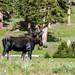 Moose, Berthoud Pass Continential Divide, Colorado Rockies