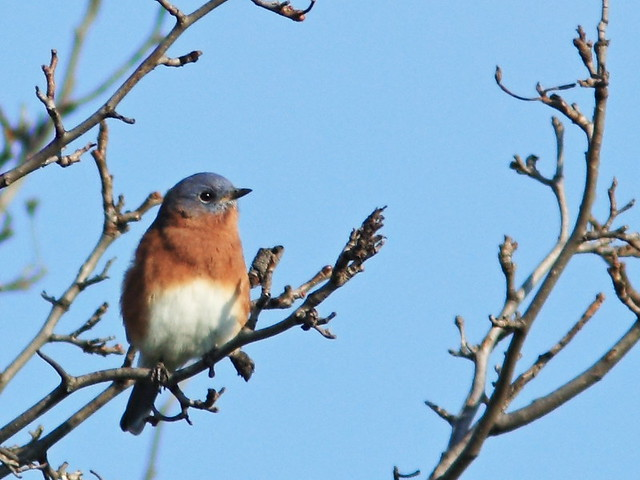 Eastern Bluebird male 2-20141001