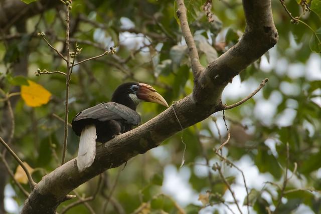 Narcondam Island, Narcondam Hornbill A 2010, by Kalyan Varma