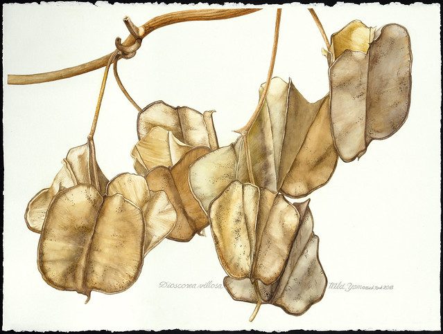 Dick Rauh, Dioscorea villosa, 2012. Watercolor on 300 lb. hot press paper.