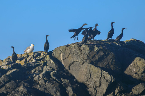 <p><i>Phalacrocorax penicillatus</i>, Phalacrocoracidae<br /> Inshore Waters, off Tofino, British Columbia, Canada<br /> Nikon D5100, 70-300 mm f/4.5-5.6<br /> September 20, 2014</p>