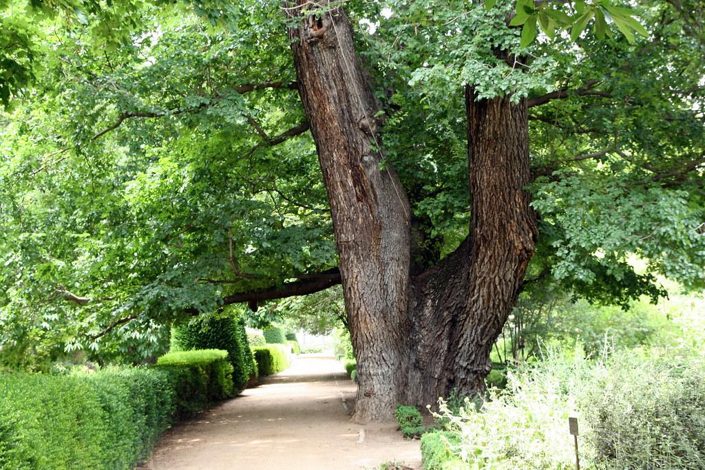 """El árbol """"Pantalones"""" (225 años)"""