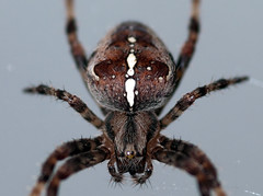 argiope(0.0), arthropod(1.0), animal(1.0), spider(1.0), araneus(1.0), invertebrate(1.0), macro photography(1.0), european garden spider(1.0), fauna(1.0), close-up(1.0), tarantula(1.0), wolf spider(1.0),