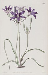 Brodiaea coronaria. The Botanical Register vol. 14 (1828)