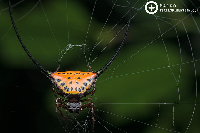 Curved Long-Spined Spider- Macracantha arcuata ♀