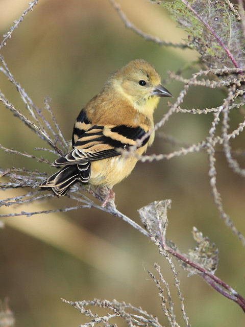 American Goldfinch 20141009
