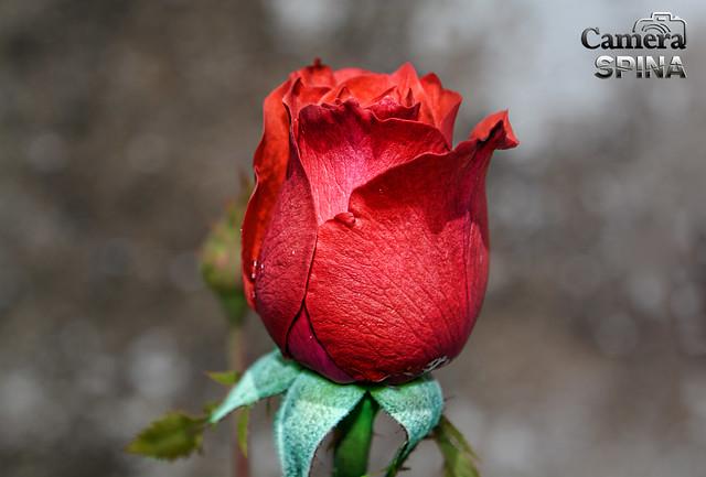 www.cameraspina.com.br - Flor 011