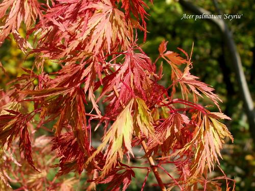 Acer palmatum 'Seyriu'