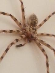 araneus(0.0), european garden spider(0.0), wolf spider(0.0), arthropod(1.0), animal(1.0), spider(1.0), invertebrate(1.0), fauna(1.0), tarantula(1.0),