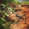 meio metro mais ou menos #reptil #lagarto #reptile #lizard #serranegra #saopaulo