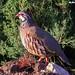 Perdiz-comum, Red-legged Partridge (Alectoris rufa) - em Liberdade [in Wild]