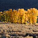 Small photo of A lot of Yellow in Yellowstone