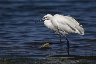 Little Egret - Naivasha Kenya 06_9993