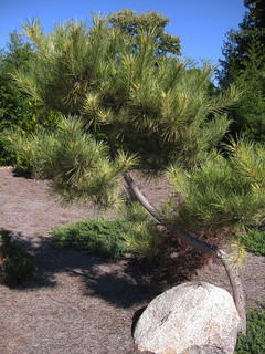 Picture of a Dragon Eye Pine