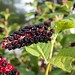 Small photo of American Pokeweed