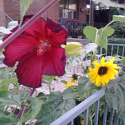 Last Rose of Sharon, Hibiscus syriacus, and sunflower