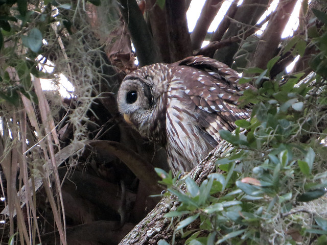 Barred Owl | Strix varia