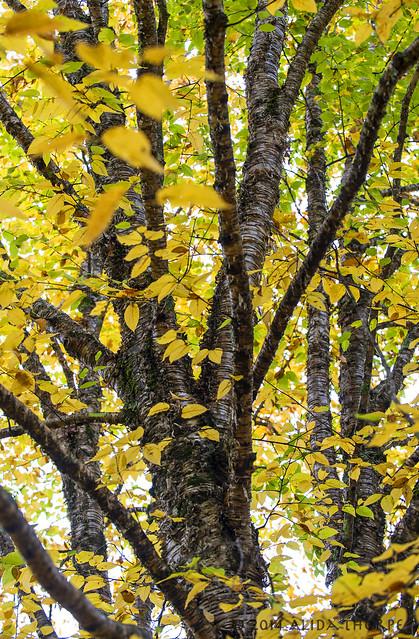 Changing Birch