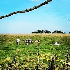 Long Horn Cattle enjoying the autumn sunshine in #EppingForest