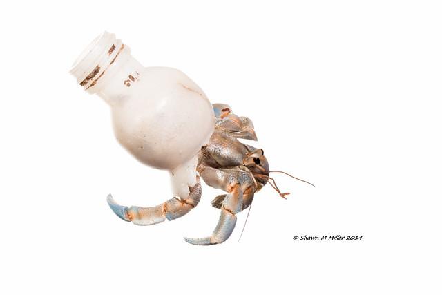 Adaptive behavior - Blueberry hermit crab (Coenobita purpureus ) Hedo, Okinawa