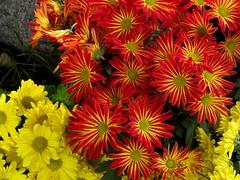 chrysanths(0.0), dorotheanthus bellidiformis(1.0), annual plant(1.0), flower(1.0), yellow(1.0), plant(1.0), macro photography(1.0), wildflower(1.0), flora(1.0), petal(1.0),