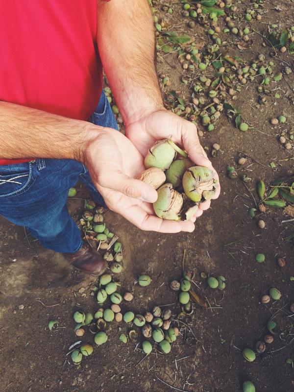 #walnutharvest14