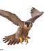 Peregrine Falcon by jsaraceno1971