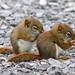 Bébés écureuils roux