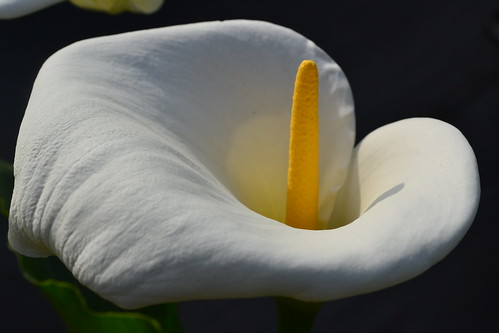 ZANTEDESCHIA aethiopica 'Glencoe'