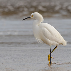 Snowy Egret (Natural Bridges State Park) - Fotos by Mi-