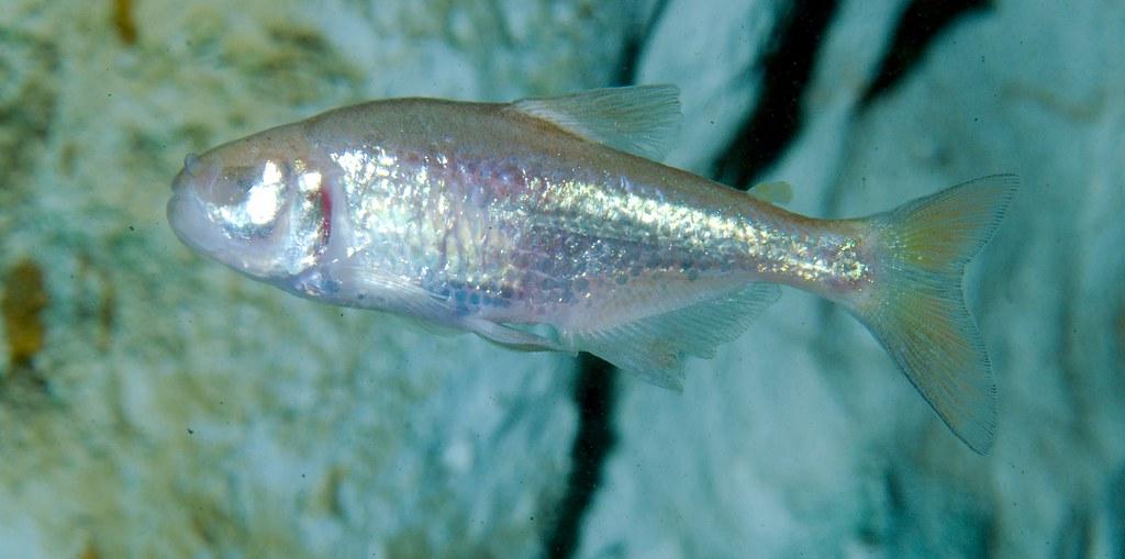 Blind Cavefish_3