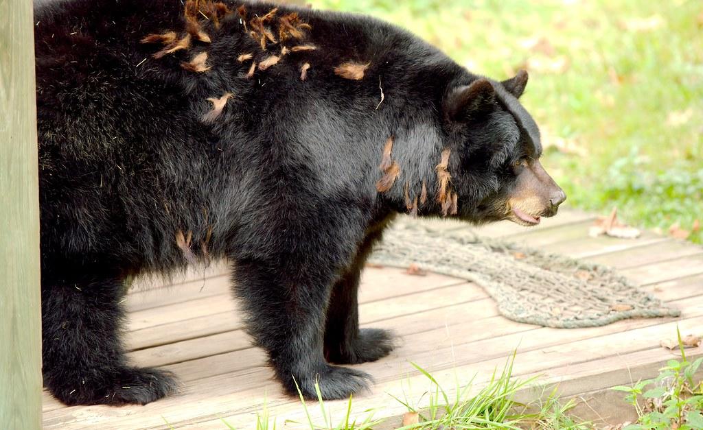 Black Bear_1