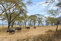 Female buffalo
