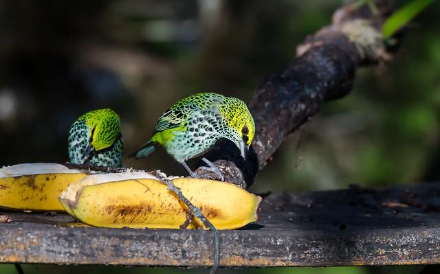 Banana Breakfast, Nikon D500, AF-S Nikkor 80-400mm f/4.5-5.6G ED VR