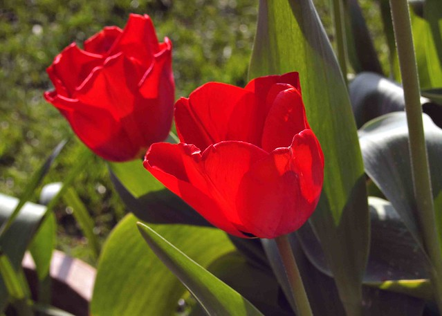 018 Two Red Tulips