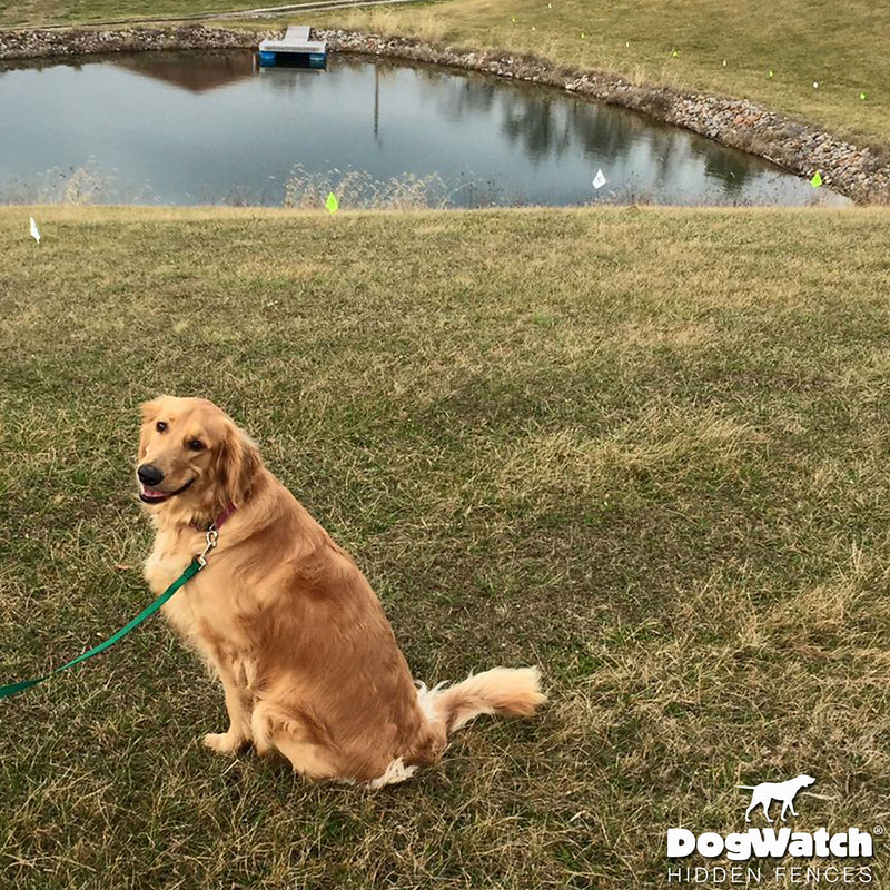 Piper, Golden Retriever, DogWatch of Southeast Ohio