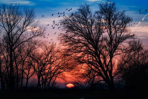 sandhillcranes gruscanadensis birds annualmigration birdsinflight sunrise platteriver nebraska