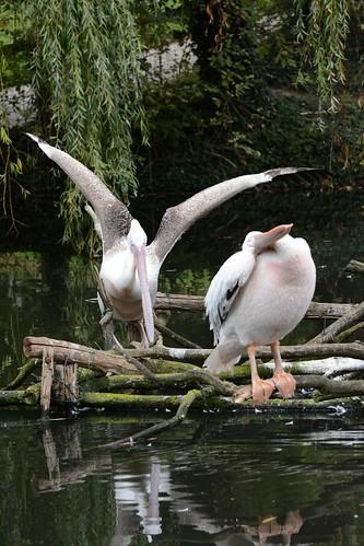 Rosapelikan im Zoo de La Flèche