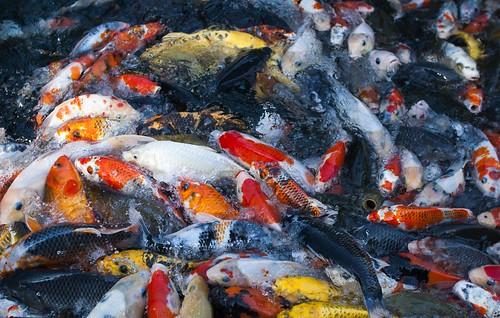 鯉鯉鯉鯉鯉